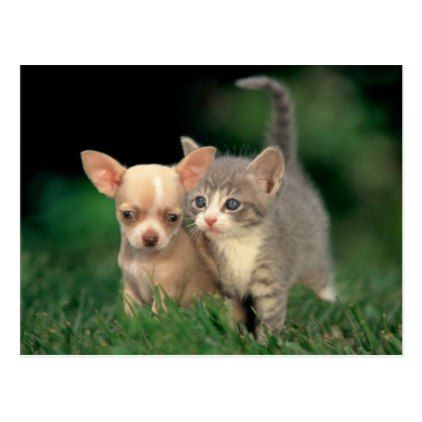 Pup Kitten Postcard Zazzle Com Cute Cats Dogs Cute Dogs