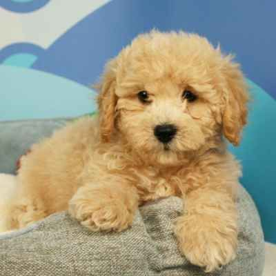 Maltipoo Puppies Available In Phoenix Tucson Az Maltipoo Puppy Maltipoo Puppies For Sale Puppies