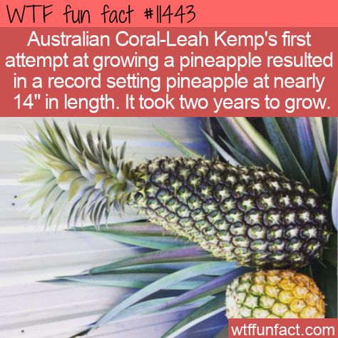 WTF Facts : funny, interesting  weird facts WTF Fun Fact - Record Pineapple #wtf #funfact #wtffunfact 11443 #australia #Food #funnyfacts #pineapple #randomfact #randomfacts #randomfunnyfact #record #wtffunfact