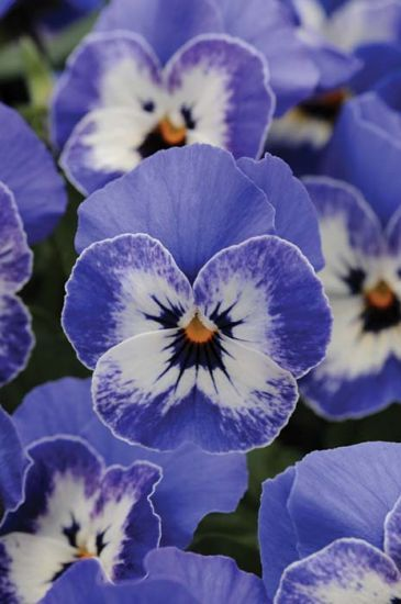 Sorbet Xp Delft Blue Viola Pansies Flowers Flower Seeds Annual Flowers