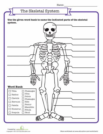 The Skeleton Worksheet Hoja De Trabajo Del Esqueleto Homeschool