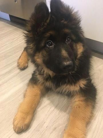 Find Out More On The Smart German Shepherd Personality