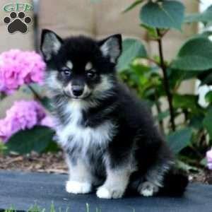 Pomsky Puppies For Sale Pomsky Breed Profile Pomsky Puppies