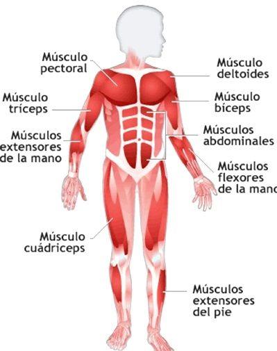 Pin En Sistema Muscular