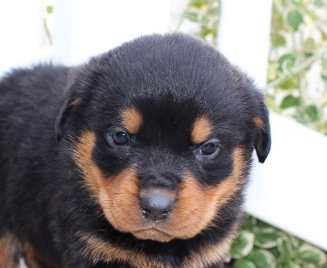 Lexi A Dashing Female Akc Rottweiler Pupper In Indiana Find