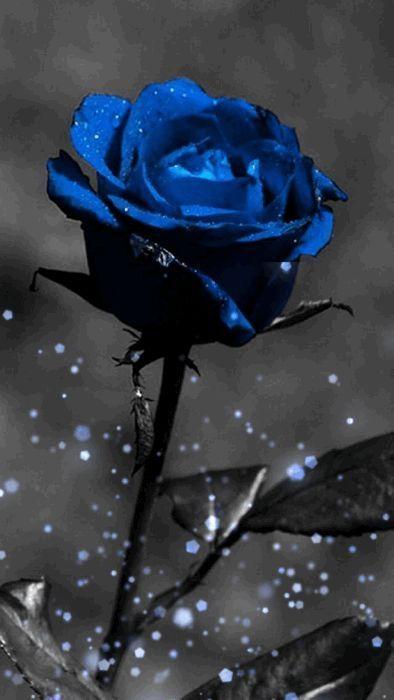 Notitle Orchideenschneiden Notitle Black And Blue Wallpaper Blue Roses Wallpaper Red Roses Wallpaper Blue rose wallpaper for phone