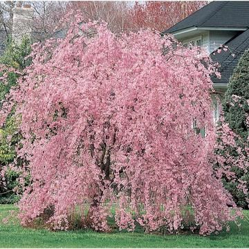 Flowering Trees Online Orchards Weeping Cherry Tree Potted Trees Tree Seeds