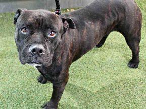 Phoenix Az American Pit Bull Terrier Meet Enano A Dog For