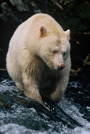 spirit bear, located in Canada