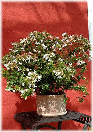 Abelie Abelia X Grandiflora Kubelpflanzen Pflanzen Und Garten Pflanzen