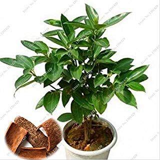 Amazon Es Semillas Arbol Canela árbol Bonsai De Interior Semillas De árbol árboles Enanos