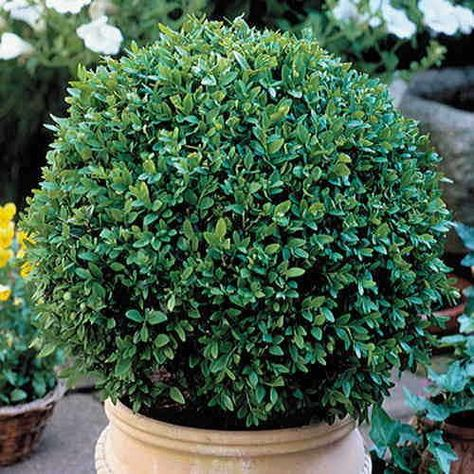 Partial Sun Planting - Topiary or hedge - Buxus 'Green Velvet' is a hardy Boxwood developed in Ontario, Canada. This hybrid combines the hardiness and compact growth habit of Korean Boxwood with the luxuriant, deep green leaf color of English Boxwood.