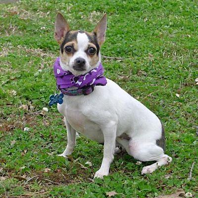 Helena Al Chihuahua Meet Sashi A Dog For Adoption Pets