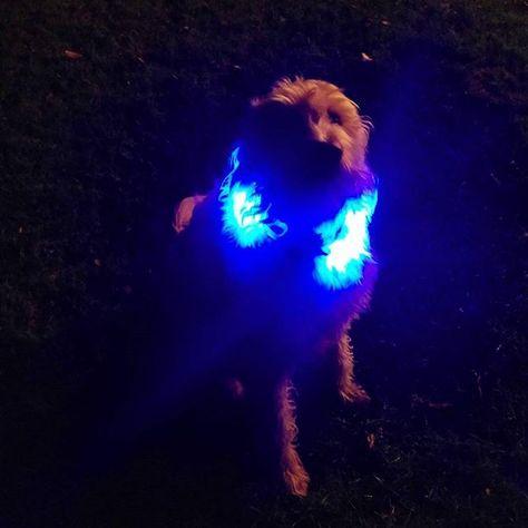 Und Abends Mit Beleuchtung Sicherheit Fur Hunde Led