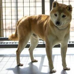Colorado Springs Co Shiba Inu Meet Kaleb A Pet For Adoption