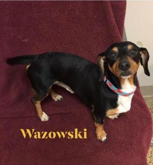 Adopt Wazowshi On Dogs Adoption Dachshund Dog
