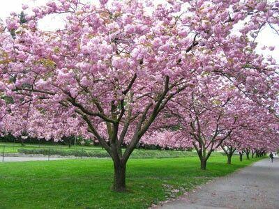 Kwanzaan Cherry Cherry Tree Blossom Trees Flowering Cherry Tree