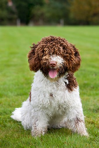 Spanish Water Dog Spanish Water Dog Water Dog American Water Spaniel