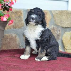 Cathy F1b Bernedoodle Puppy For Sale In Ohio Bernedoodle