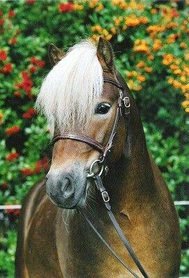 German Classic Pony Von Horse Breeds Martina Fabrizi Pferde Ponys