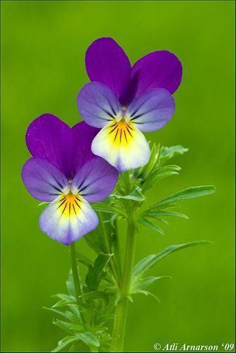 Wild Pansy 100 Seeds Viola Tricolor Heartsease Johnny Jump Up -Wildflower