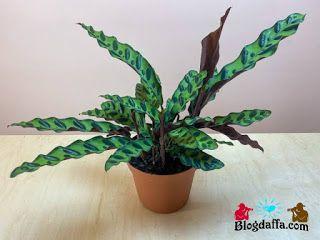 Tanaman Hias Calathea Lancifolia Tanaman Hias Daun Tanaman Menanam