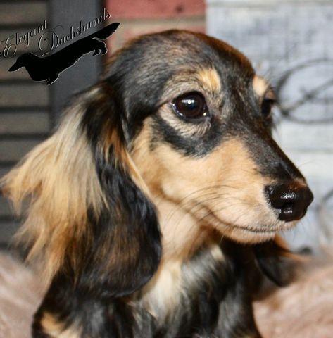 Cream Sable Longhair Elegant Dachshunds Weiner Dog Long Haired