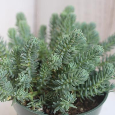 Sedum Rupestre Blue Spruce Cactus Plante Plantes Grasses