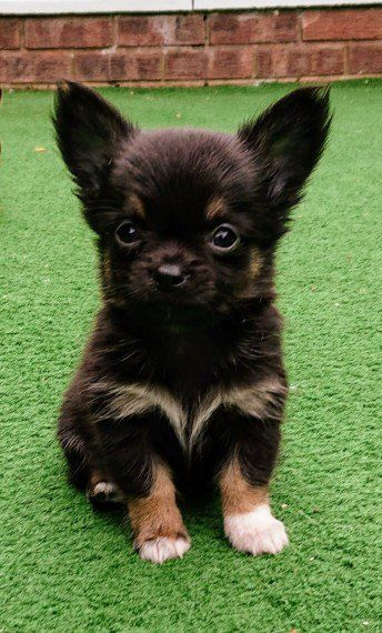 Beautiful Well Bred Long Coated Chihuahua Puppy Chihuahua