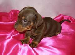 Puppies For Sale On Pups4sale Com Au Puppies For Sale Dachshund Dogs For Sale Dachshund Dog