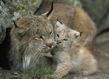 Help out a furry mama cat for Mother's Day: The Canadian lynx makes its home in Canada's dense boreal forest. But each year, this elusive member of the cat family loses more and more of its pristine habitat to destructive tar sands mining. Oil companies level out vast swaths of forest to extract heavily polluting tar sands oil, leaving a toxic wasteland in its place.    This Gift will help NRDC stop the spread of tar sands mining and save the boreal home of the imperiled lynx #NRDCGreenGifts $20