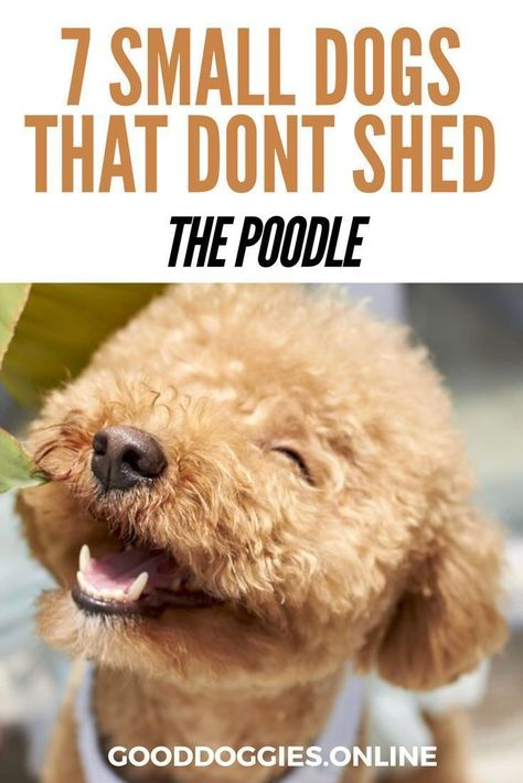 7 Adorable Non Shedding Small Dogs With Images Small Dogs Dog Breeds That Dont Shed Dog Breeds