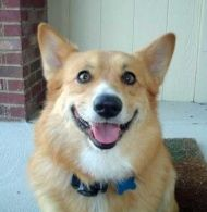 North Coast Ohio Corgi Rescue Adopted Dogs Corgi Rescue Corgi Dog Adoption