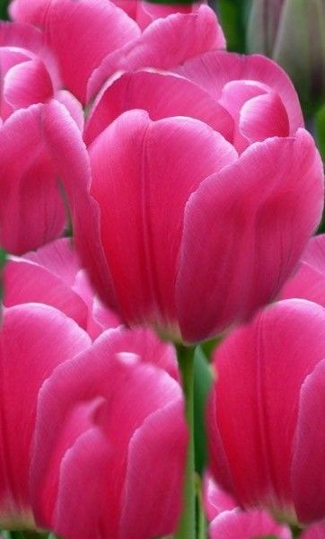 Pin By Ane Castro On Beautiful Big Tulips Tulip Flower Pictures Flowers Flower Pictures