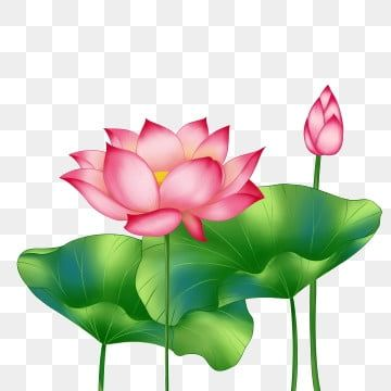 Spring Lotus Lotus Two Lotus Two Leaves Lotus Two Lotus Two Big Leaves Png Transparent Clipart Image And Psd File For Free Download Flower Line Drawings Spring Flowers Background Flower Art
