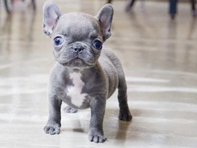 Mini Blue Teacup French Bulldog Puppies Bulldog Puppies Teacup French Bulldogs French Bulldog Puppies