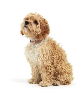 Pin by NY Breeder on Designer Puppies | Cockapoo puppies for sale