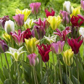 Flash Of Green Tulip Mix Fedco Bulbs In 2020 Tulips Tulip Bulbs For Sale Tulip Bulbs