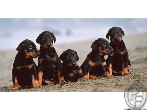 Doberman Puppies For Sale In Mumbai Maharashtra India In Pet