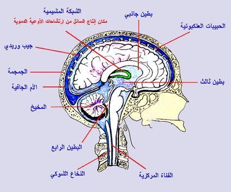 لدماغ مركز التحكم الرئيسي في الجسم حيث يستقبل المعلومات الواردة من أعضاء الحس عما يجري داخل الجسم وخارجه ويحللها بسرعة ويرسل الرسائل الملا Map Map Screenshot
