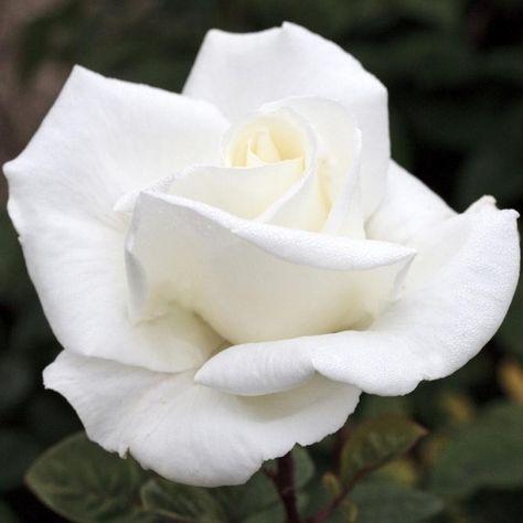 Fiori Bianchi Grandi.Rosa Metropolitan Meifaissel Fiori Grandi Fiori E Profumo Rosa