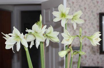 Green Goddess Amaryllis From White Flower Farm We Watched It Grow And Enjoyed The Gorgeous Flowers Then I Kept Watering T White Flower Farm Flowers Amaryllis