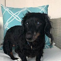 Weston Florida Dachshund Meet Jericho A For Adoption Https Www Adoptapet Com Pet 25728889 Weston Florida D In 2020 Dachshund Adoption Dog Adoption Pet Adoption