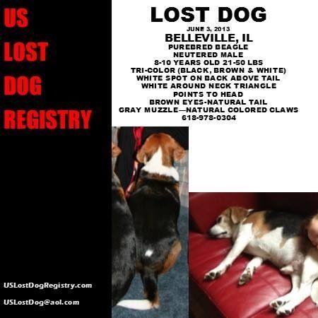 Lostdog 6 3 13 Belleville Il Purebred Beagle Neutered Male