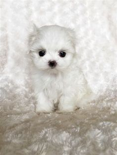 Image Result For Teacup Maltese Puppies For Sale White