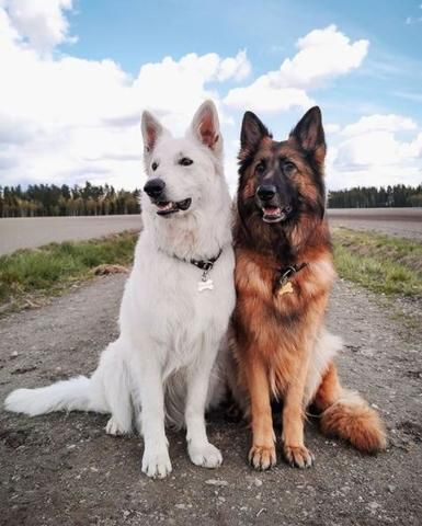 25 Photos That Show How Majestic German Shepherds Are – German Shepherd Shop Cute Baby Dogs, Cute Dogs And Puppies, Doggies, Adorable Dogs, Baby Puppies, Cute Dogs Breeds, Dog Breeds, Cute Animal Photos, German Shepherd Dogs