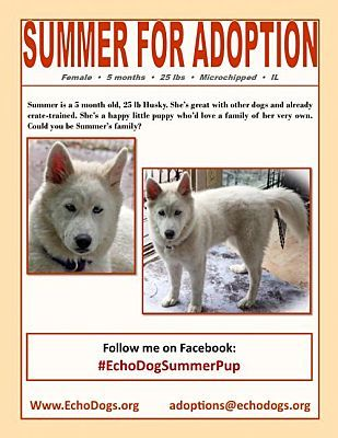 Hoffman Estates Il Siberian Husky Meet Summer A Pet For