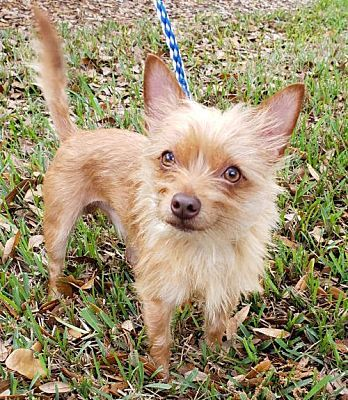 Tampa Fl Chihuahua Meet Simba A Pet For Adoption Pet