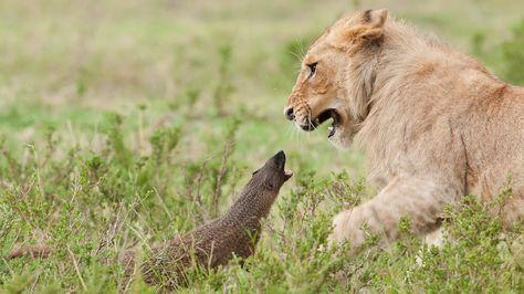 Lion Vs Mongoose: Mongoose Fends Off Four Lions