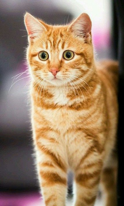 A Beautiful Orange Tabby I Love The Ginger Color Of Her Fur Cats